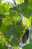 Ziekten en ongedierte op de bladeren van komkommers stock fotografie
