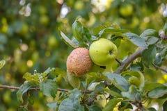 Ziekten van appelen, monilia Stock Foto's