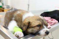 Ziektepuppy met catheter bij zijn been royalty-vrije stock afbeeldingen