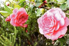 Ziel van een roze bloem stock afbeeldingen
