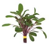 zielarska liść posy mędrzec Obrazy Stock