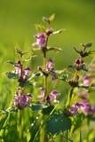 Zielarski Lamium purpureum Zdjęcie Stock