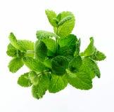 zielarski melissa Zdjęcie Stock