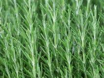 zielarski officinalis rozmarynów rosmarinus Obraz Stock
