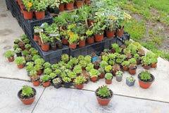 Zielarskie rośliny Obraz Royalty Free