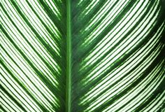 Zieleń liści natury kreskowi wzory i biel krawędzi naprzemianległa tekstura dla tła, odbicie od słońca obraz royalty free