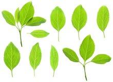 zieleń świezi liść obraz stock