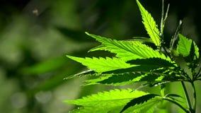 Zieleń, ampuły marihuana prześcieradło Backlit, evening lekkich konopianych liście zdjęcie wideo