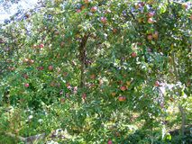 Zieleń Aport i czerwony organicznie jabłczany rodzaj Jabłoń w letnim dniu obraz royalty free