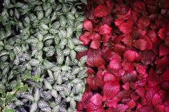 Zieleń, czerwień liścia zielony tropikalny tło obrazy royalty free