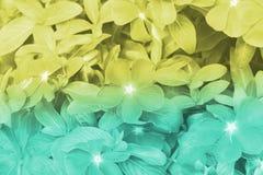 Zieleń i żółty kolorów tło barwinek kwitniemy naturę, miękka ostrość piękni kwiaty z kolorów filtrami Zdjęcia Royalty Free