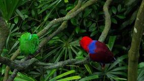 Zieleń i czerwone par papugi zbiory wideo