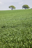 Zieleń i zieleń - drzewa nad trawy polem, Anglia Zdjęcia Stock