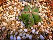 Zieleń jak Pustynna roślina na ziemi z Białymi Małymi Gravels Obraz Royalty Free