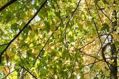 Zieleń klonowego drzewa tło zdjęcie stock
