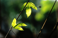 zieleń liść Zdjęcie Stock