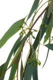 zieleń liść Obrazy Royalty Free