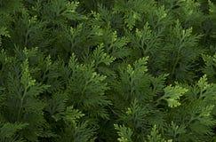 Zieleń liści deseniowy tło Zdjęcie Stock