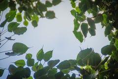 Zieleń liści rama z dramatycznym nieba tłem i środek kopii przestrzeń dla teksta Natury rama zielony urlop rozgałęzia się na chmu Zdjęcie Royalty Free