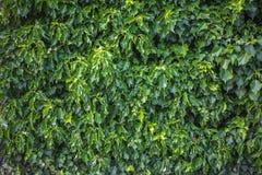 Zieleń liści tła wzoru tekstura Obraz Royalty Free