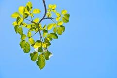 Zieleń liście zdjęcia stock