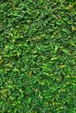 Zieleń liście Obraz Stock