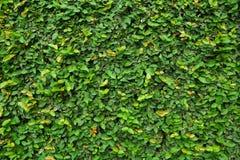 Zieleń liście Zdjęcie Stock