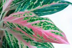 Zieleń liście aglaonema na białym tle Obraz Stock