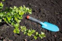 Zieleń liście agrest Fotografia Stock