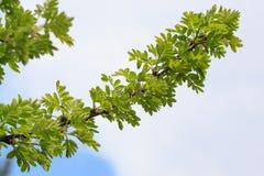 Zieleń liście akacja w wiosny kwitnieniu wiosenne słońce piękna kwiat wody fotografia stock