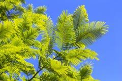 Zieleń liście akacjowi drzewa przeciw niebieskiemu niebu Zdjęcie Royalty Free