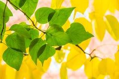 Zieleń liście bez na tle żółta bonkreta opuszczają Obrazy Stock