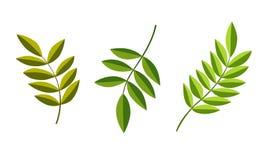 Zieleń liście białego tło Zdjęcie Royalty Free