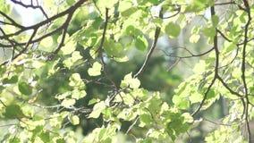 Zieleń liście brzoza kiwają w wiatrze zbiory