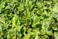 Zieleń liście burak Fotografia Stock