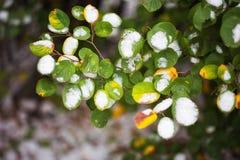 Zieleń liście Bush pod wczesnym śniegiem Opóźniona jesień fotografia stock