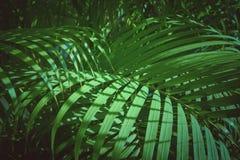 Zieleń liście drzewka palmowego tło Fotografia Stock