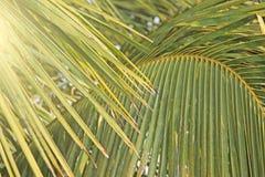 Zieleń liście drzewko palmowe i słońce tropikalny tło egzot Palmy w India, Goa zdjęcie royalty free