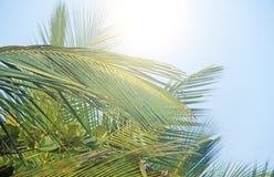 Zieleń liście drzewko palmowe, niebieskie niebo i słońce, tropikalny tło egzot Palmy w India, Goa zdjęcia royalty free