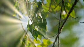 Zieleń liście Drzewny brzozy obwieszenie W lesie Na słonecznym dniu Fotografia Stock
