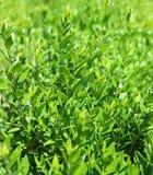 Zieleń liście i śniadanio-lunch młody krzak pod słońcem Tło Fotografia Royalty Free