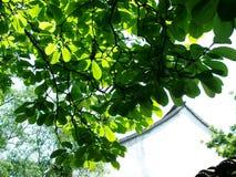 Zieleń liście i biel ściany Zdjęcia Stock