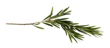 Zieleń liście i gałąź butelki muśnięcia drzewo odizolowywający na białym tle obraz royalty free