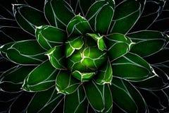 Zieleń liście kaktus Obrazy Stock