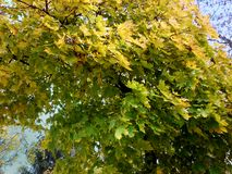 Zieleń liście klon w słonecznym dniu zdjęcie stock
