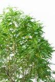 Zieleń liście lub Agasta drzewa Fotografia Stock