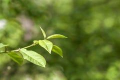 Zieleń liście młody drzewo w wiośnie Zaczynać nowy życie w s Obrazy Royalty Free