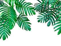 Zieleń liście Monstera filodendron tropikalna lasowa roślina, obrazy stock