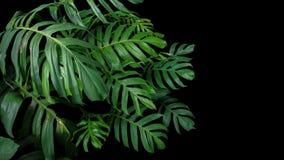 Zieleń liście Monstera filodendron zasadzają dorośnięcie w dzikim Obraz Royalty Free