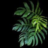 Zieleń liście Monstera filodendron zasadzają dorośnięcie w dzikim Fotografia Stock